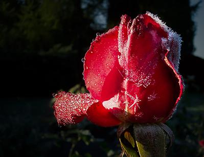 14_marotz_302_rose1.jpg
