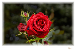 Rose-mit-Käfer