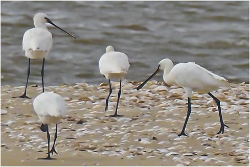30.loefflervoegel--ibisfamilie-.jpg