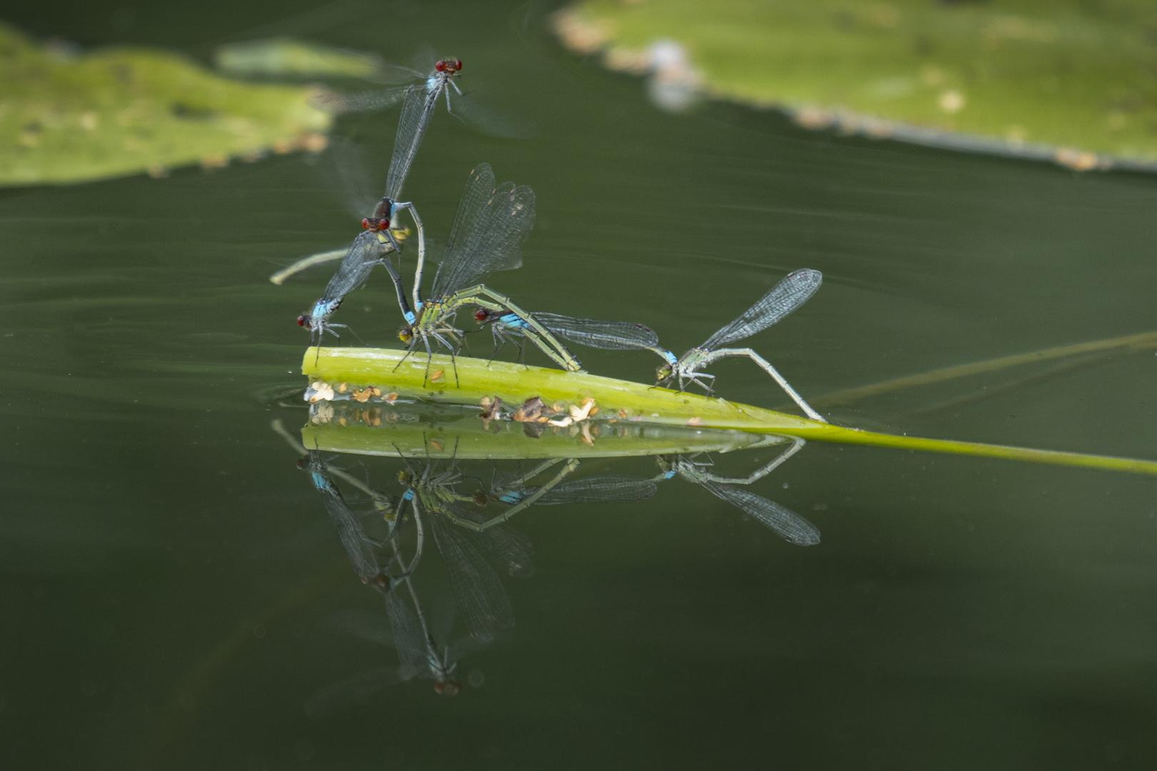 Libellen bei der Eiablage