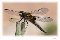 Libelle-Postbruch