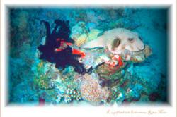 Kugelfisch mit Federstern-Rotes Meer
