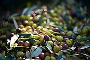 Attrezzature raccolta delle olive vicino da Firenze, Pistoia e Prato