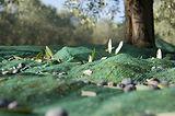 vendita teli anti-spina raccolta olive