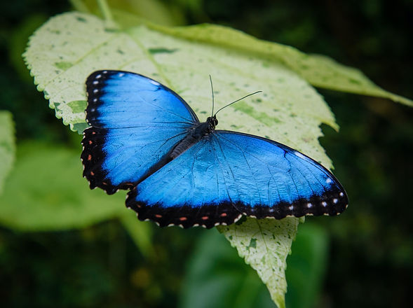 morpho%20butterfly_edited.jpg