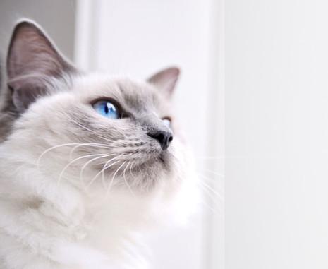 Ragdoll Cat_edited.jpg