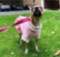 dog wearing dress