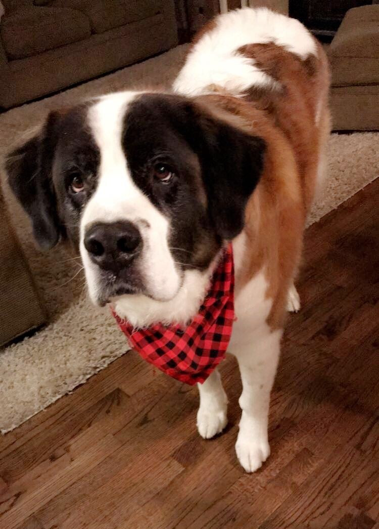 St Bernard with osteosarcoma is treated with cancer-fighting vaccine
