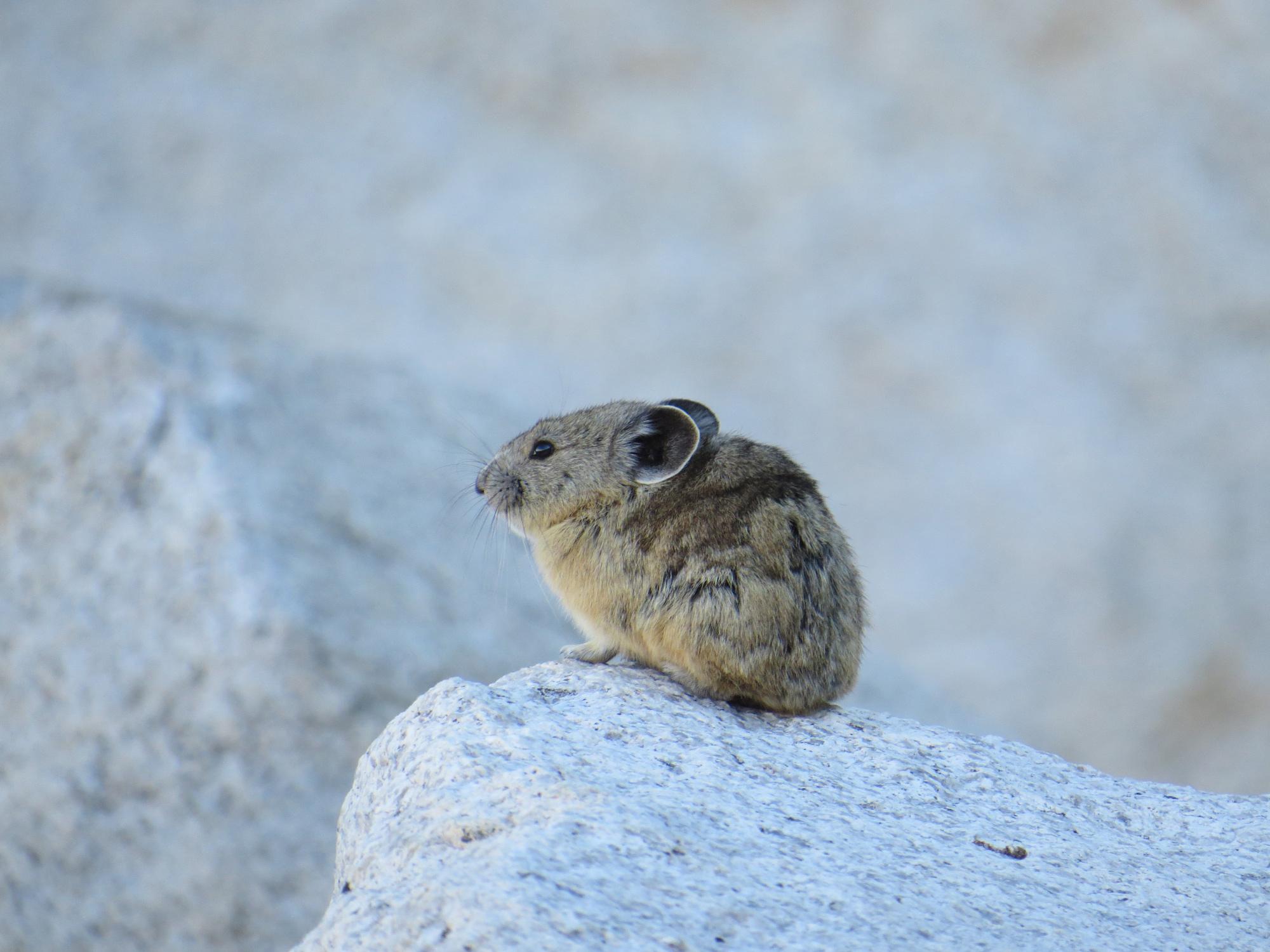 Pika on the John Muir Trail