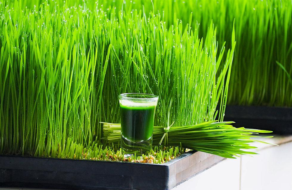 wheatgrass%20juice%20and%20wheatgrass%20