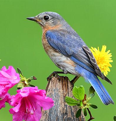 bowerbird.jpeg