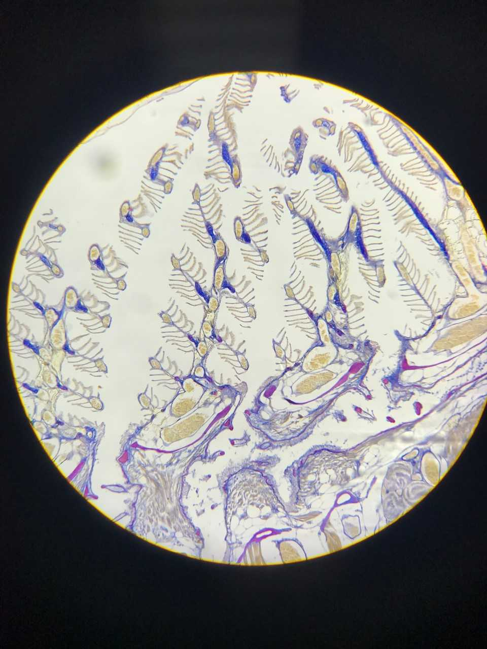 Gills under microscope