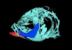 Segmented zebrafish head from CT