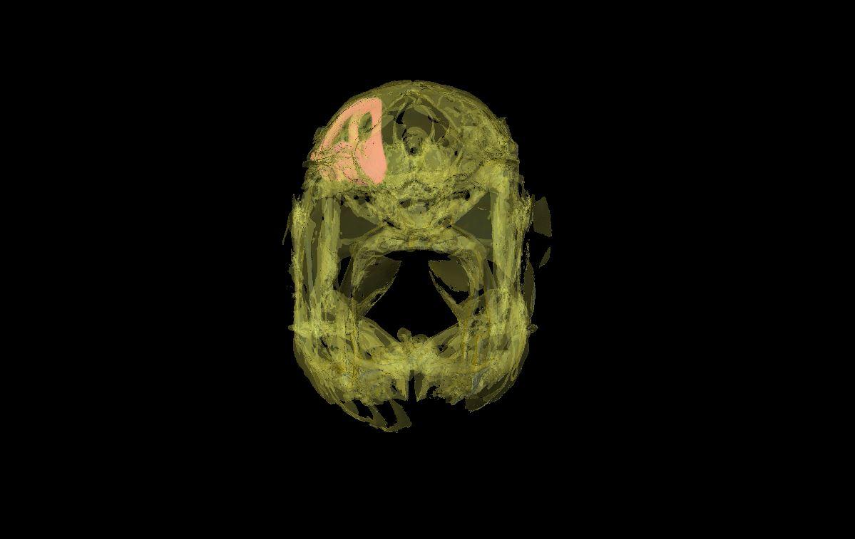 Inner ear in skull