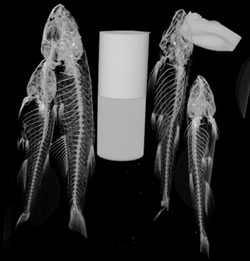 uCT fish