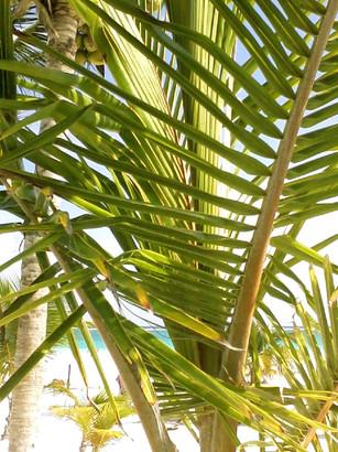 tulum palm