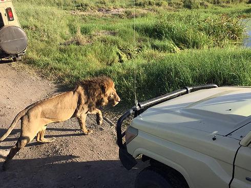 GDS lion car.jpg
