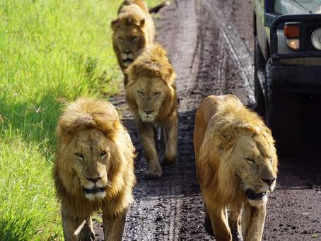 Why is a safari in Tanzania so expensive?