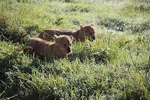 lion cubs.JPG