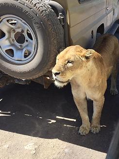 FB lioncar.jpg