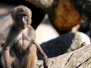 monkey at African Lion Safari