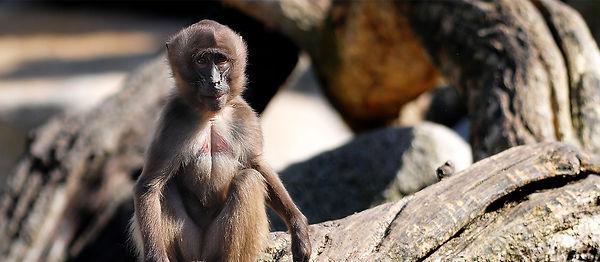 動物monkey_croped