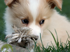 Preparing for your puppy