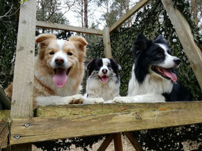Breed information: The Border Collie