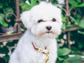 Breed information: The Maltese