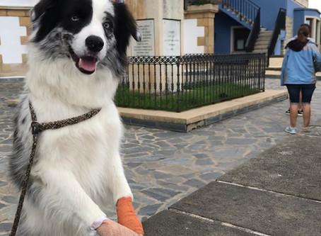 Waarom likken honden aan hun wonden?