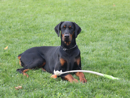Breed information: The Doberman Pinscher