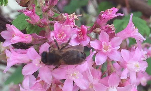 Honey bee on a pink flower