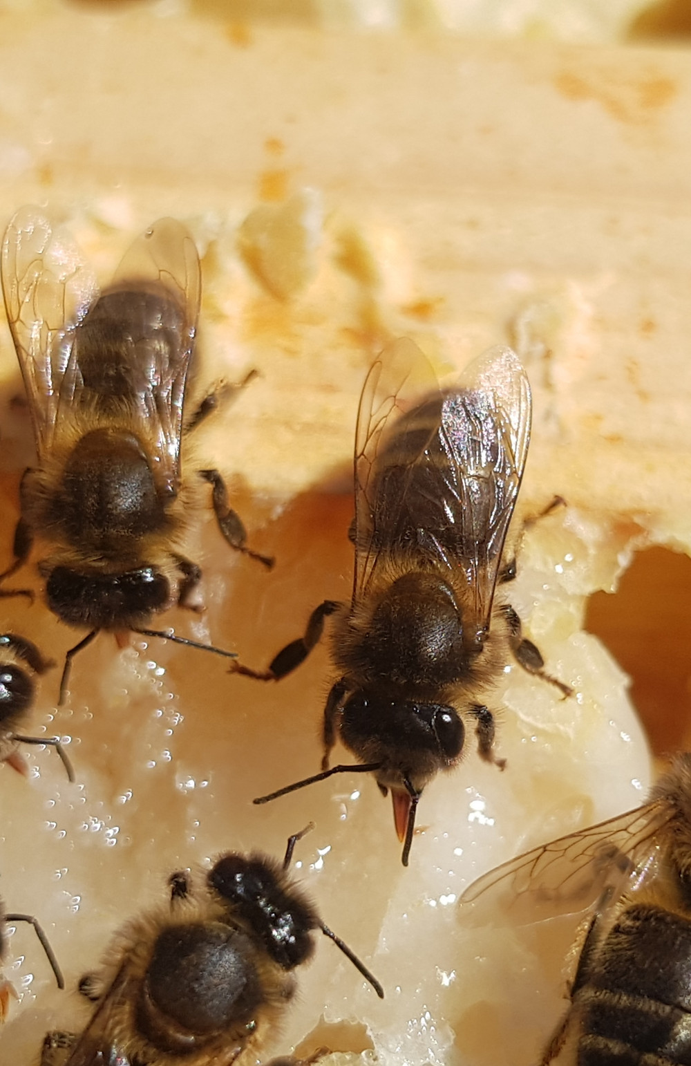 A closeup of three bees on a comb of honey