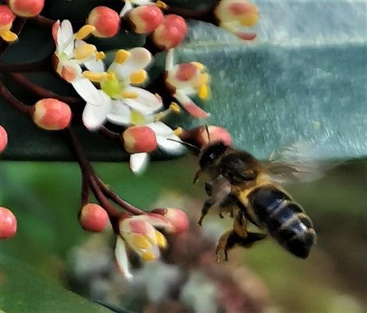 Honeybee on spring blossom