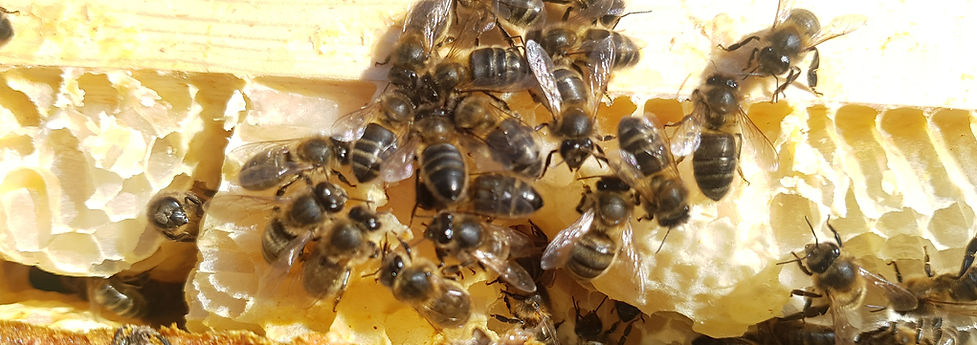 Dark honey bees on a comb of honey in a frame