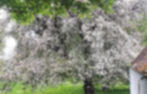 Huge apple tree in full blossom