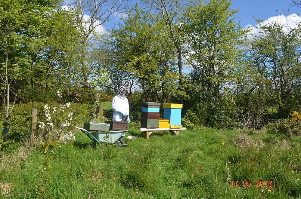 A beekeeper in a white beekeeping suit and a blue and green hive with grass in the foreground and trees in the background in early summer