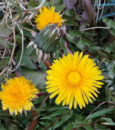 Bee friendly dandelion flowers