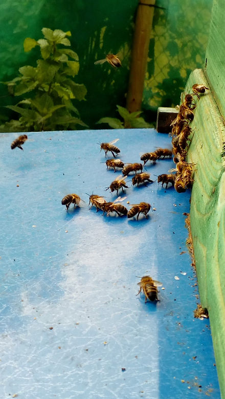Bees entering and leaving beehive in early summer