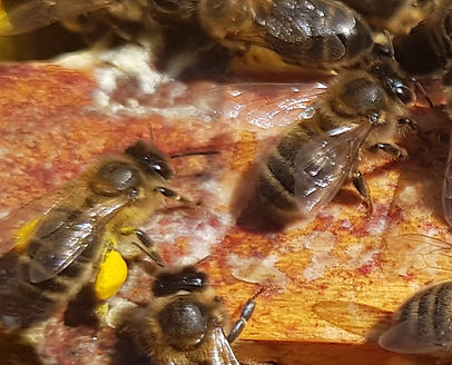 Bees on a frame with pollen sacs attached