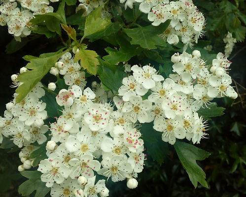 Bee friendly hawthorn blossom