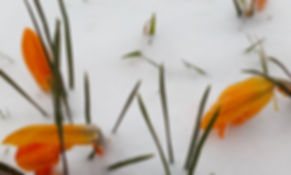 Yellow crocuses in flower in snow