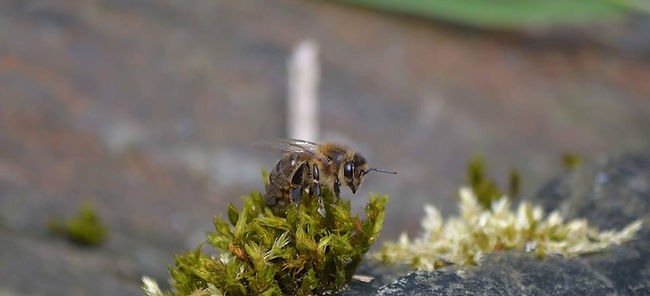 A honey bee on moss