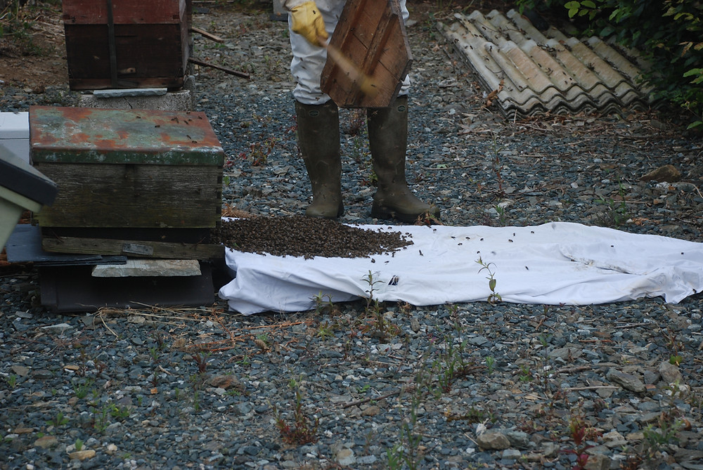 A beekeeper walking a swarm of bees into a hive along a white cloth