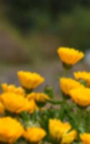 Calendula.jpg