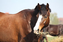 horse-eating-hay-canstockphoto11128096-5