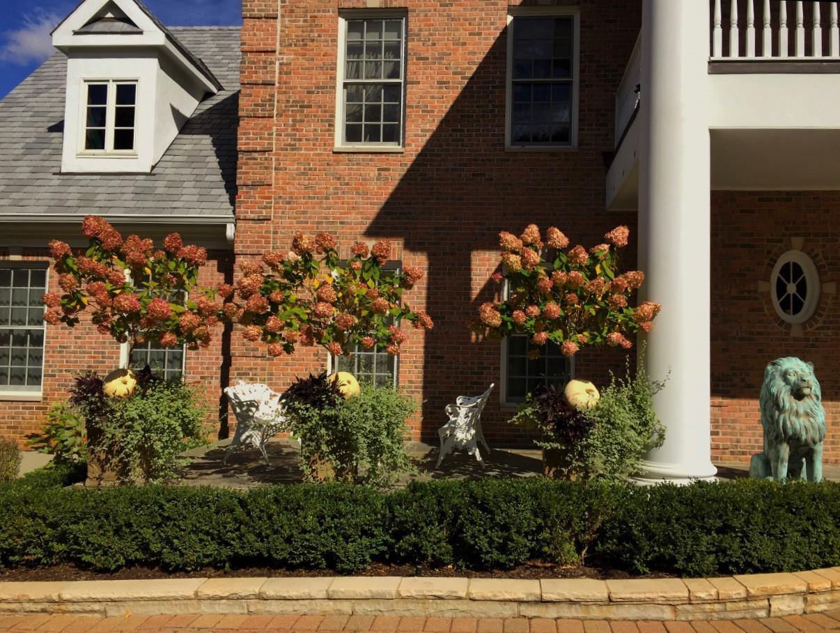 Hydrangeas in full bloom!