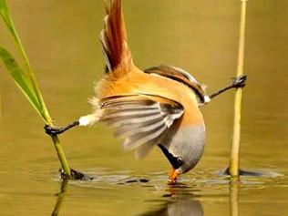Ради добычи - птицы готовы сесть на шпагат!