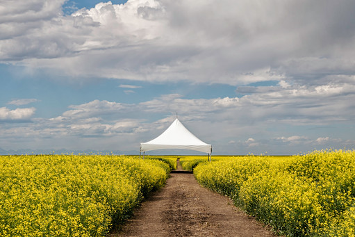 Tent in Canola Field