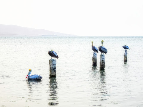 Pelicans on Posts